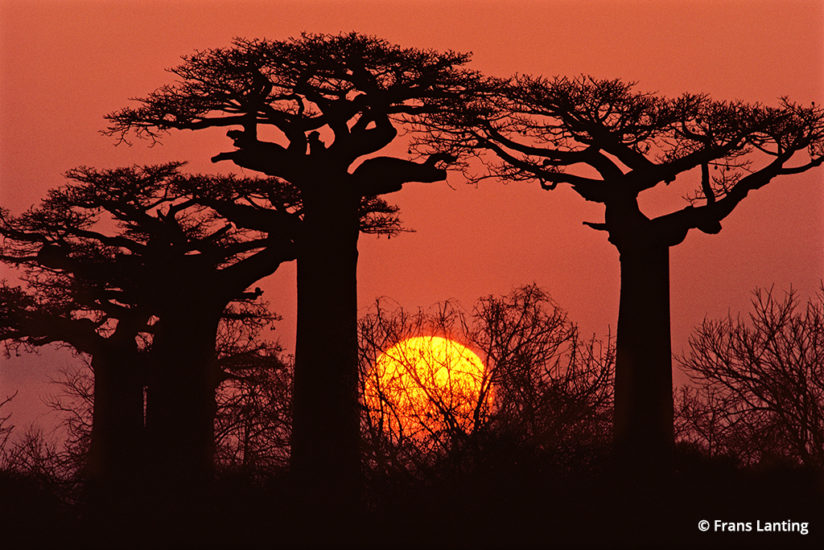 Into Africa: baobabs in Madagascar