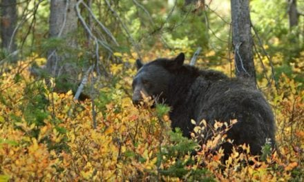 Minnesota Black Bear Harvest Will Be Higher Than Expected