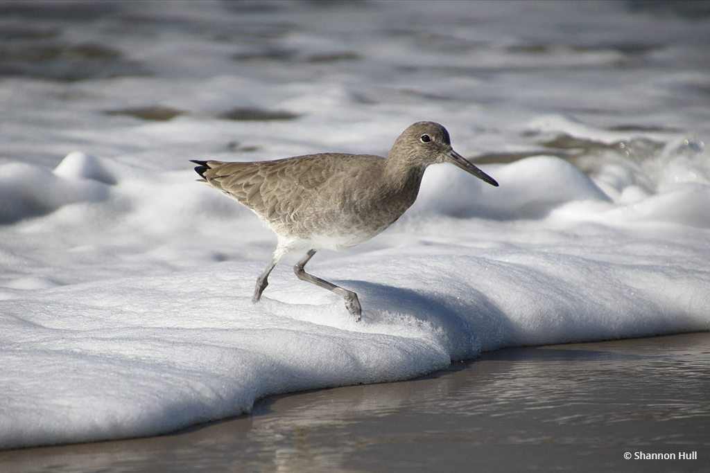 """Today's Photo Of The Day is """"Sandpiper Surf"""" by Shannon Hull. Location: San Diego, California."""