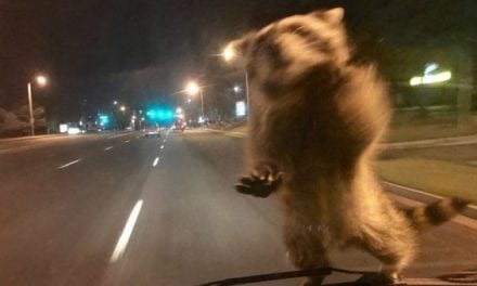 Raccoon Hitches a Ride on a Police Crusier