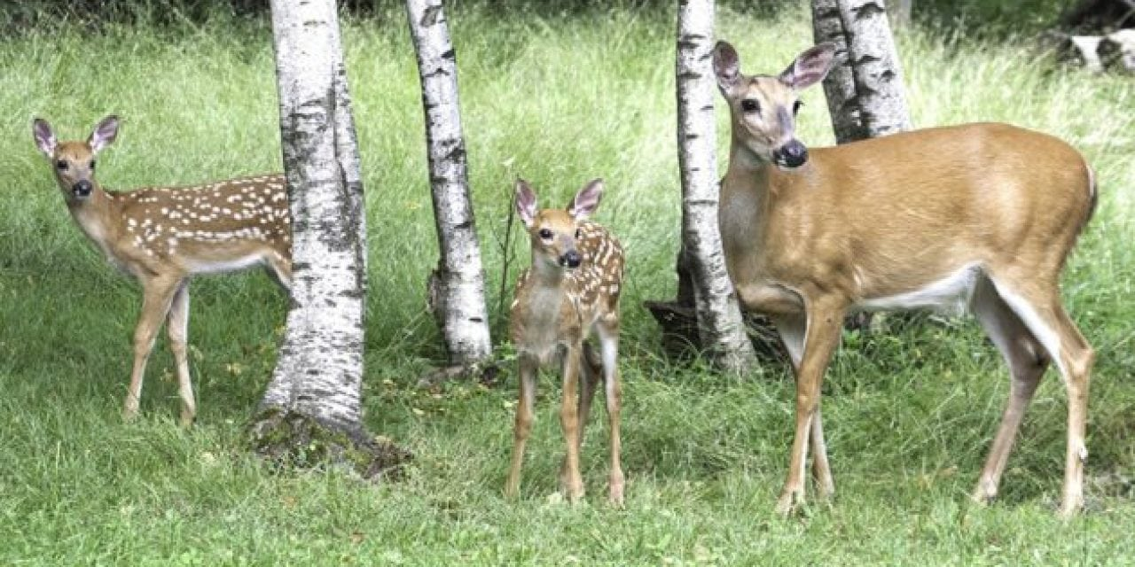 Remember the Study That Confirmed CWD Can Transfer From Mother to Offspring?