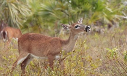 What Happened to the Key Deer During Hurricane Irma?