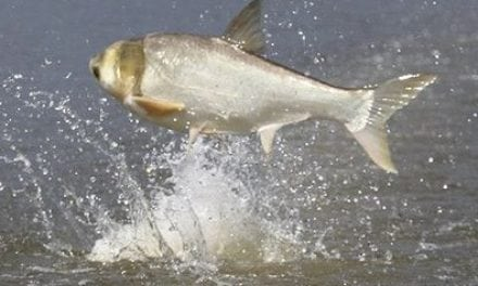 Arkansas Slates Commercial Harvest of Asian Carp on Lake Chicot