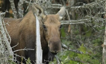 Arrest Made in Vermont Moose Poaching and Dragging Case