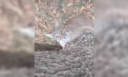 Bobcat Surprises Hunter By Trying to Join Him in His Treestand