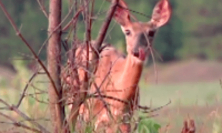 Deer Stomping Foot — What Does It Mean?