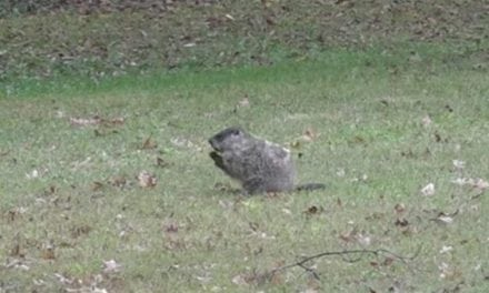 Hunter Nails Giant Groundhog With Bow From Kitchen Window