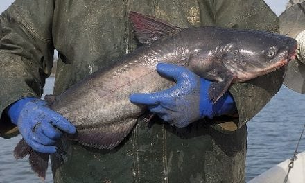 New catfish reg threatens watermen's livelihood on Chesapeake Bay