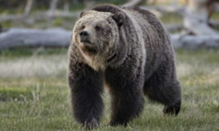 Pheasant Hunter Shoots and Kills Charging Grizzly Bear