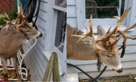 Police Help Monster Non-Typical Buck Stuck on Hose in Ohio