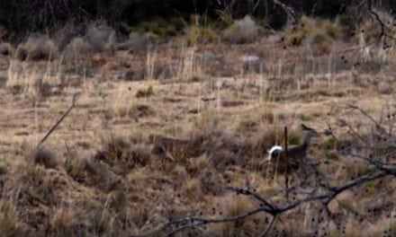 Stealthy Bobcat Hammers A Deer on Film…Again
