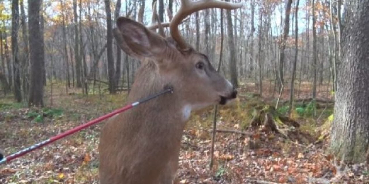 Video: Bet You've Never Seen a Buck Being Poked With a Broadhead Before