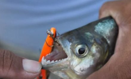 Video: Fishing for the Legendary Piranha in the Amazon with Lake Fork Guy