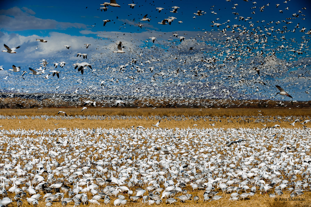 "Today's Photo Of The Day is ""Amass"" by Anu Shankar. Location: Bosque Del Apache, New Mexico."