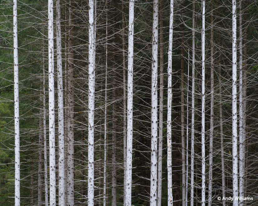 shooting for black and white, Stand of trees in Italy's Dolomites