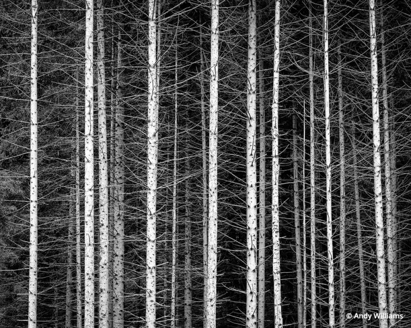 shooting for black and white, Stand of trees in Italy's Dolomites, after conversion
