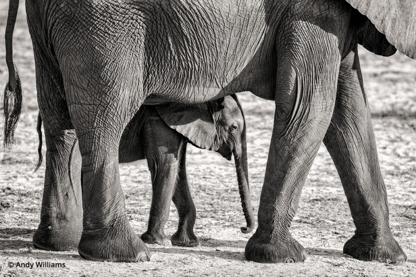 shooting for black and white, Mother elephant and calf, after conversion