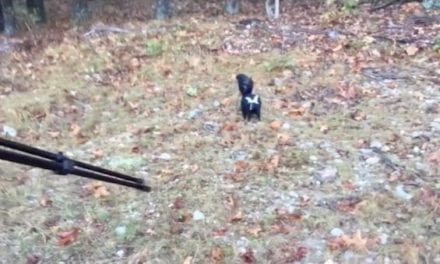 Video: Deer Hunter Gets Skunked, Literally