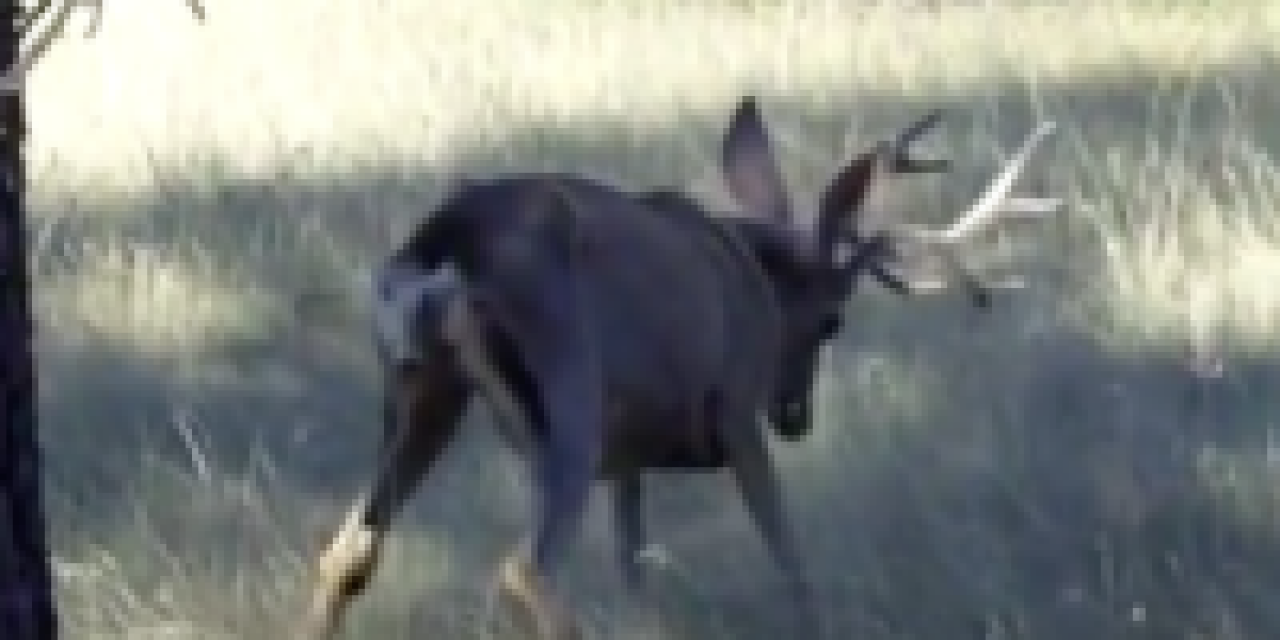 Video: Deer with Chronic Wasting Disease