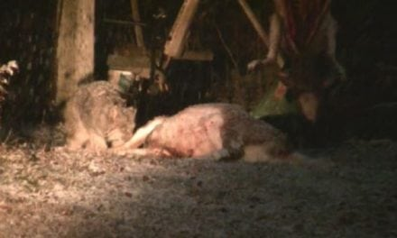 Video: Hungry Lynx Chows Down on Harvested Deer at Hunt Camp