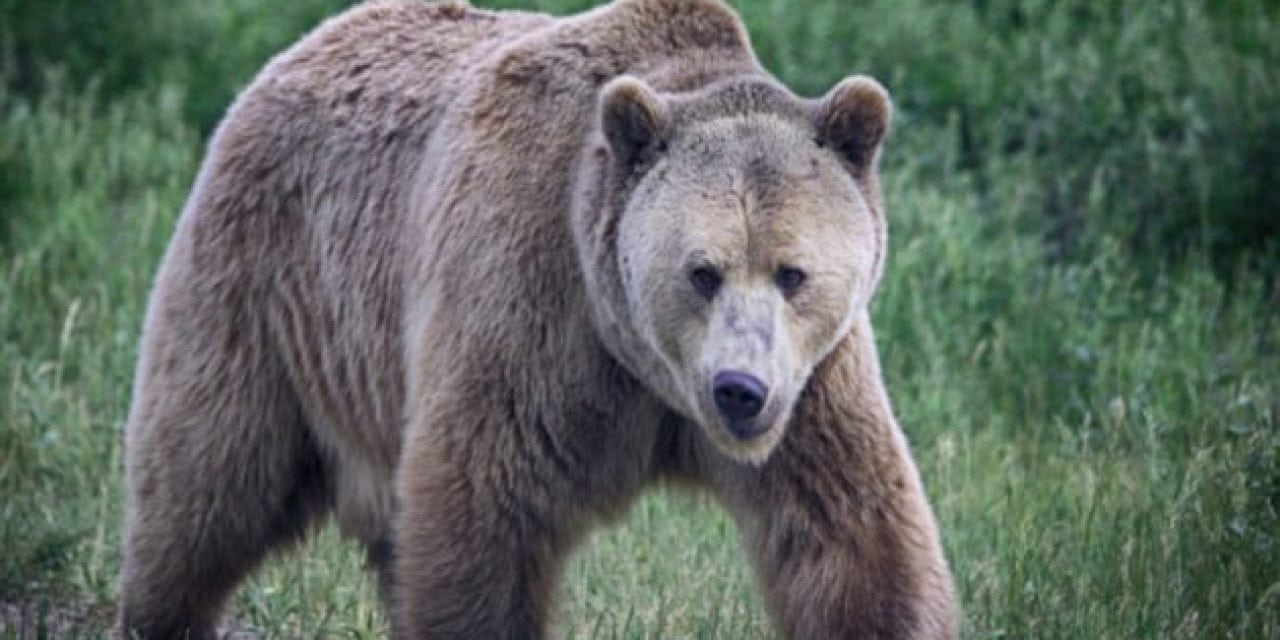 Wyoming Elk Guide Fights Off Grizzly with Knife to Save Female Client