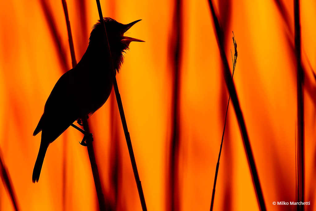 """Congratulations to Milko Marchetti for winning the recent Backlight And Silhouettes Assignment with the image, """"Great reed warbler."""""""