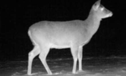 Big Whitetail Does are Smart Critters