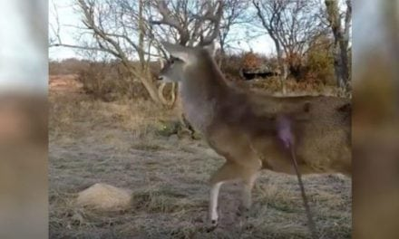 Check Out This Buck's Reaction After Getting Drilled with an Arrow