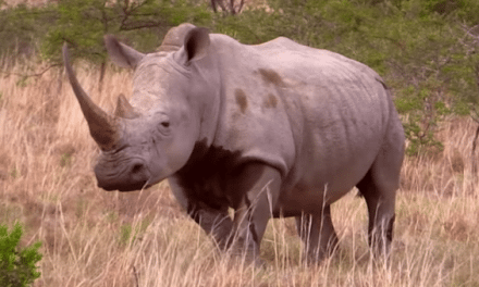 Hunting South African Rhino and Cape Buffalo is Pure Excitement