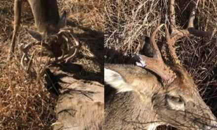 The Rut is Still on in Oklahoma? Warden Frees Locked Buck from Dead Combatant