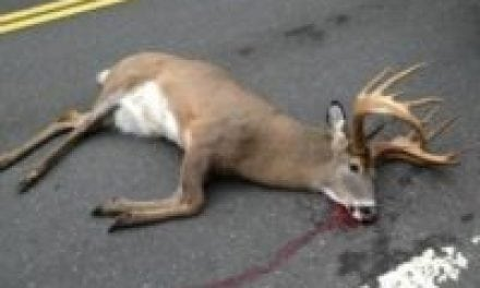 Legal or Not, Think Twice Before You Pick Up Roadkill Deer