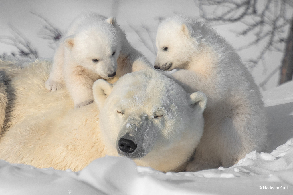 "Today's Photo Of The Day is ""Tender Moments"" by Nadeem Sufi. Location: Churchill, Manitoba."