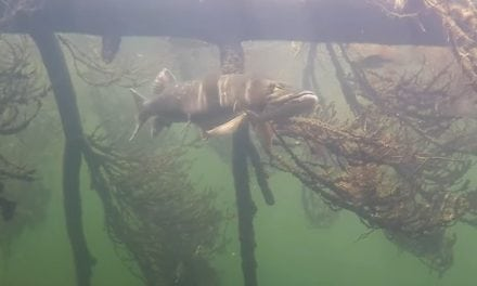 Super Clear Muskie Underwater Video Footage