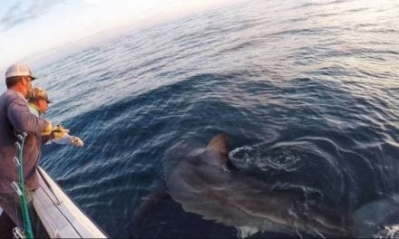 Video: 3,000-Pound Great White Shark Caught Out of South Carolina's Hilton Head