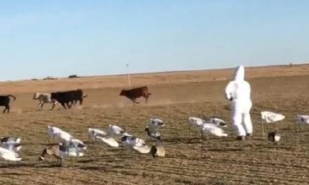 Video: Here's a Hilarious Way to Scare Livestock from Your Snow Goose Spread