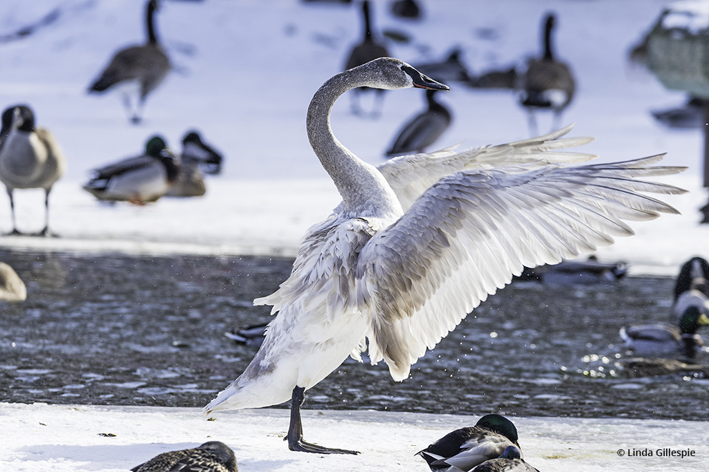 "Congratulations to Linda Gillespie for winning the recent Winter Waterfowl Assignment with the image, ""Lord of the Dance."""