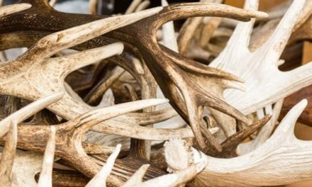 6 Quick Tips for More Shed Hunting Success