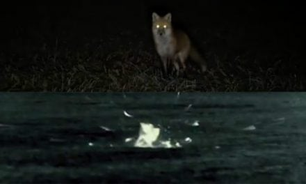 Check Out This Epic Double Red Fox Kill Filmed with Pulsar Thermal Scope