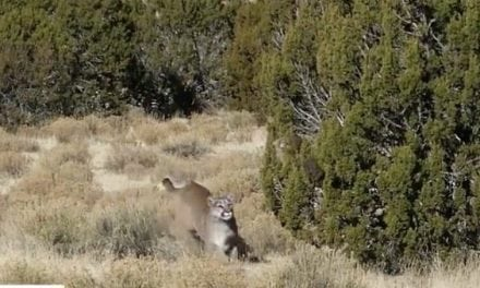 Cougar Frantically Comes in Hot to Decoy in Intense Encounter