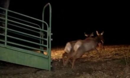 Here's Video of Those Arizona Elk Arriving in West Virginia