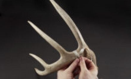 How Much Do Deer Antlers Shrink?