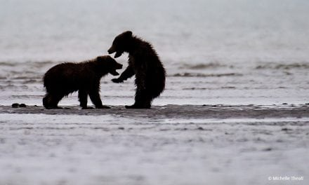 Last Frame: Bears At Play