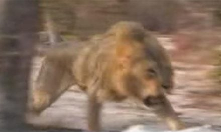 Lions Come Out of Nowhere to Charge Hunters