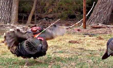 Video: Broadhead Completely Decapitates Gobbler