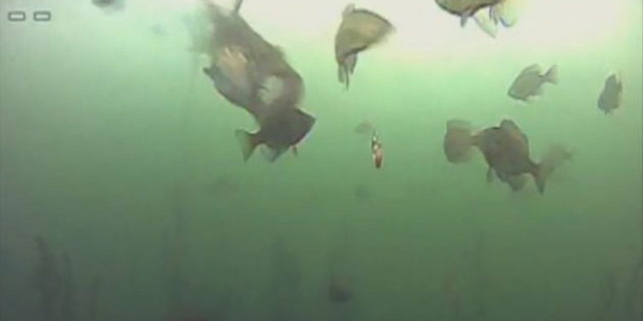 Video: It's Lights Out for This Unlucky Bluegill, Quite Literally