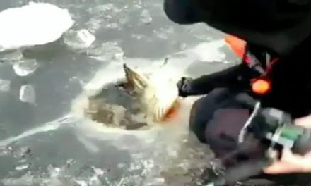 Video: To Ice a Muskie This Big You Might Need a Bigger Hole