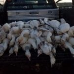 51 Geese Dead From Freak Hail Storm In Idaho