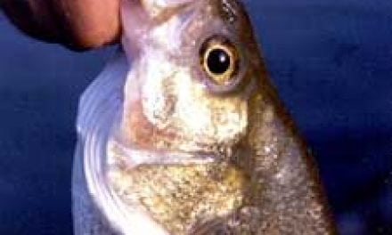 How To Target Wintertime White Bass