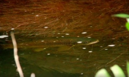 Let's Thank Orvis for Yet Another Great Feeding Trout Video