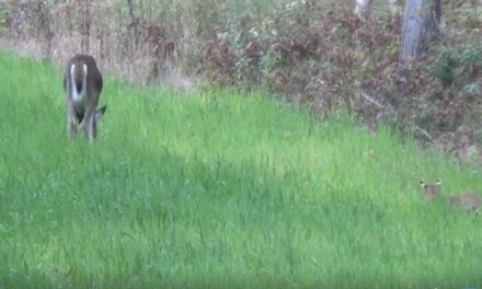 Not Many People Get to See a Bobcat Stalking a Deer Like This